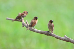 Group of Scaly-breasted Munia Stock Image