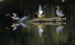 A group of Scaly-Sided Merganser. During winter season. A group of Scaly-Sided Merganser fly from north part to the JiangXi middle of China for better weather royalty free stock photos