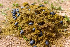 Group of Scarabaeus sacer of Sacred Scarab in dung royalty free stock images