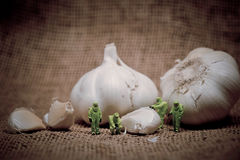 Group of scientists inspecting garlic bulb. Color tone tuned. Macro photo Stock Photography