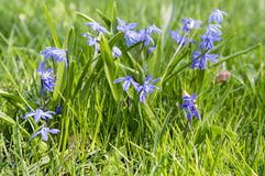 Bunch of Scilla siberica, early spring blue flowers in bloom in garden bed stock photo