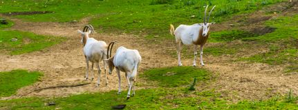 Group of scimitar oryxes together in a pasture, animal specie that is extinct in the wild. A group of scimitar oryxes together in a pasture, animal specie that royalty free stock image
