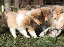 Group of Scotch Collie puppies playing outside Stock Images