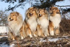 Group of scotch collies in the forest Stock Image
