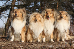 Group of scotch collies in the forest Stock Images