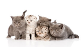 Group scottish and british shorthair kittens. isolated on white Stock Photography