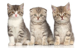 Group of Scottish kitten Stock Photography