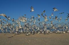 Group of Sea Birds Flying over a Florida Beach Stock Photo