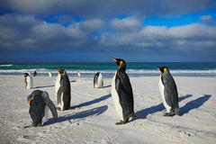 Group of sea birds. Group of King penguins, Aptenodytes patagonicus, going from white sand to sea, Arctic animals in the nature ha. Group of sea birds. Group of Royalty Free Stock Images