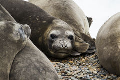 Group of sea elephants Royalty Free Stock Images