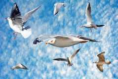Group of sea gulls Royalty Free Stock Image
