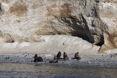 Group of sea lion at magdalena island. Strait of magellan. Chile Royalty Free Stock Image