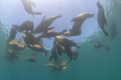 Group of Sea lion Seals Royalty Free Stock Image