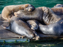 Group of sea lion sleeping on a dock Royalty Free Stock Photo