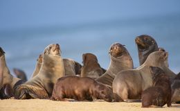 Group of sea lions on the beach Royalty Free Stock Photo