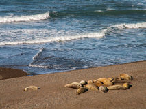 Group Of Sea Lions On Beach Stock Image