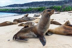 Group of sea lions on the beaches of Galapagos. Santa Fe stock photo