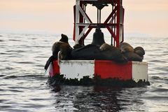 Group of sea lions enjoying the buoy life royalty free stock image