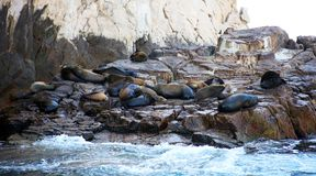 Group of sea lions at Los Cabos Mexico Stock Images