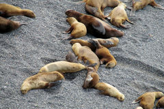 Group of sea lions lying on the ocean shore Royalty Free Stock Images