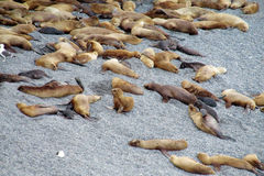 Group of sea lions lying on the ocean shore Stock Image
