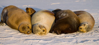 Group of sea lions lying on the sand. The Galapagos Islands. Pacific Ocean. Ecuador. Royalty Free Stock Photo