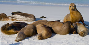 Group of sea lions lying on the sand. The Galapagos Islands. Pacific Ocean. Ecuador. Stock Image