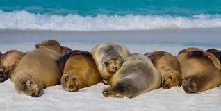 Group of sea lions lying on the sand. The Galapagos Islands. Pacific Ocean. Ecuador. Stock Photos