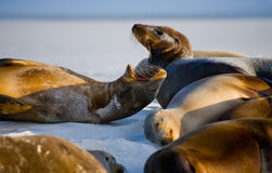 Group of sea lions lying on the sand. The Galapagos Islands. Pacific Ocean. Ecuador. Royalty Free Stock Images