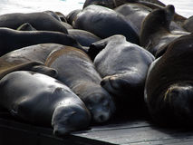 Group of sea lions on a pier Stock Photos