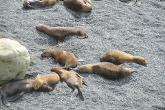 Group of sea lions on the rocky beach Stock Photography
