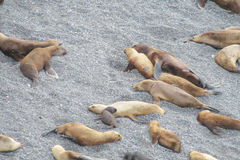 Group of sea lions on the rocky beach Stock Photo