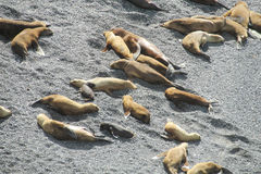 Group of sea lions on the rocky beach Stock Image