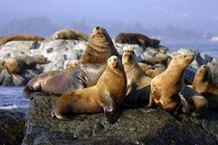 Group of sea lions sunning. A view of a group of sea lions sunning themselves on rocks off the coast of Vancouver Island, Canada stock image