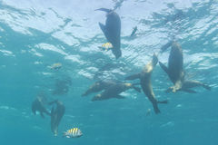 A group of sea lions underwater Royalty Free Stock Photo