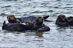 A group of sea otters. Lazying on shallow water Royalty Free Stock Image