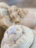 Group of sea shells Royalty Free Stock Image