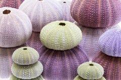 Group of sea shells of sea urchin  Echinoidea Stock Images