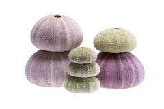Group of sea shells of sea urchin  Echinoidea isolated on white background Stock Photos