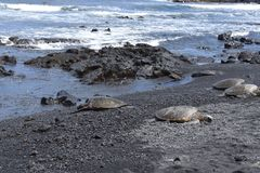 Group of Sea Turtles on a Black Sand Beach stock images