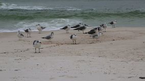 Group of seabirds on beach stock video
