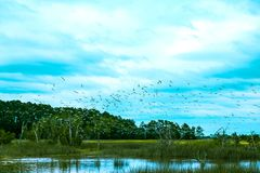 Flock of birds fly over south carolina low country marsh on cloudy day. A group of seabirds fly in a flock over the salted water marsh of south carolina royalty free stock photos