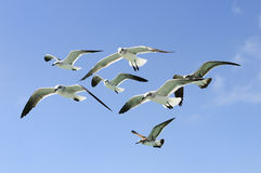 Group of seagull Royalty Free Stock Images