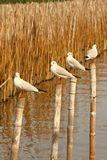 Group of seagull stand on bamboo tree Royalty Free Stock Images