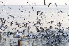 Group seagull swoop sunshine. Beautiful group seagull swoop sunshine at Bang Pu Seaside of Thailand Royalty Free Stock Photography