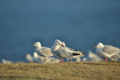 Group of seagulls Royalty Free Stock Photography