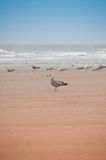 Group of seagulls on the beach. Group of seagulls enjoying life at the seaside royalty free stock photo