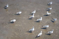 Group Of Seagulls Bird On Mud Royalty Free Stock Photos