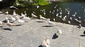Group of seagulls fighting for food Royalty Free Stock Image