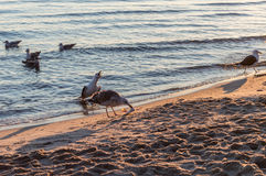 Group of seagulls fighting on sandy sea shore over fish scraps after fishermen clean their catch. Royalty Free Stock Photography